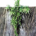 JBL - TerraPlanta Madagascar Bambus S