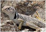 Black-collared Lizard