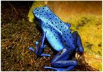 Broasca sageata otravita albastra