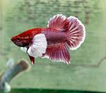 Betta spendens elephant