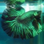 Betta spendens green