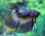 Betta spendens super delta