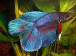 Betta splendens m double tail mix
