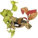 Croci - Radacina cu plante S