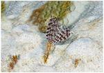 Sabellid (Sabellastarte indica)