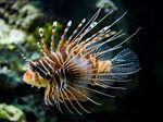 Lionfish Pterios Volitans Black