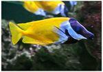 Rabbitfish foxface (Siganus vulpinus)