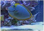 Unicornfish alungit Naso lopezi