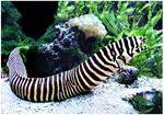 Zebra Murray (Gymnomuraena zebra)