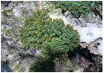 Anemona Heteractis