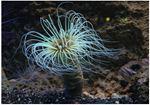 Anemona Tub (Membranaceus Cerianthus)