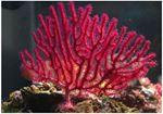 Echinogorgia (rosii/violet)