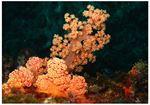 Red Orange Silk Coral