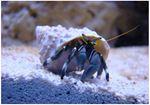 Crabul stangaci Hermit