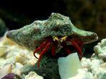 Redleg Hermit crab Paguristes