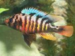 Haplochromis crimson tide