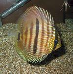 Symphysodon heckel