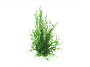 Taxiphyllym spec. Flame moss In-Vitro