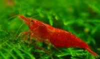 Super Red Cherry Shrimp