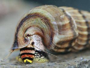 Neritina snail king