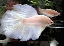 Betta spendens albino