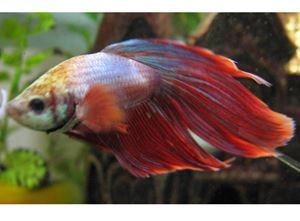 Betta spendens cambodian