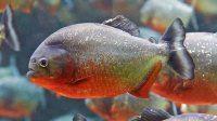 Serrasalmus nattereri - Piranha cu burta rosie