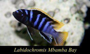 Labidochromis Mbamba