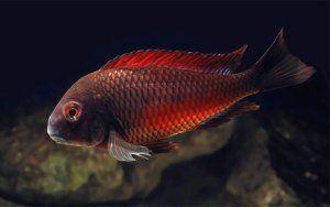 Red Moliro