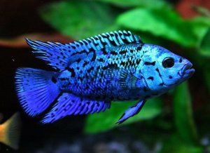 Cichlasoma blue jack dempsey