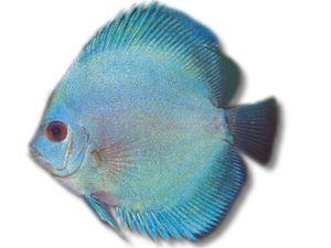 Symphysodon blue